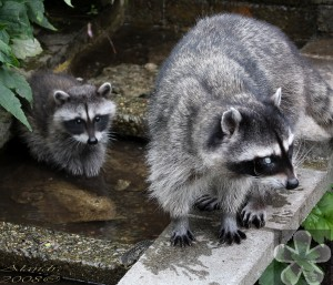 blind-raccoon-with-baby_50411